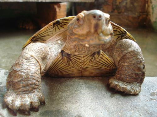 亚洲巨龟是二级保护动物吗