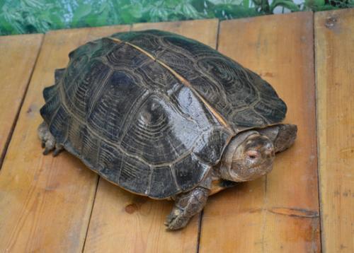 亚洲巨龟会咬人吗? 亚洲巨龟咬人吗