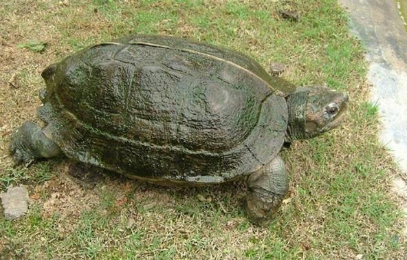 亚洲巨龟怎么分公母 亚洲巨龟公母怎么区分