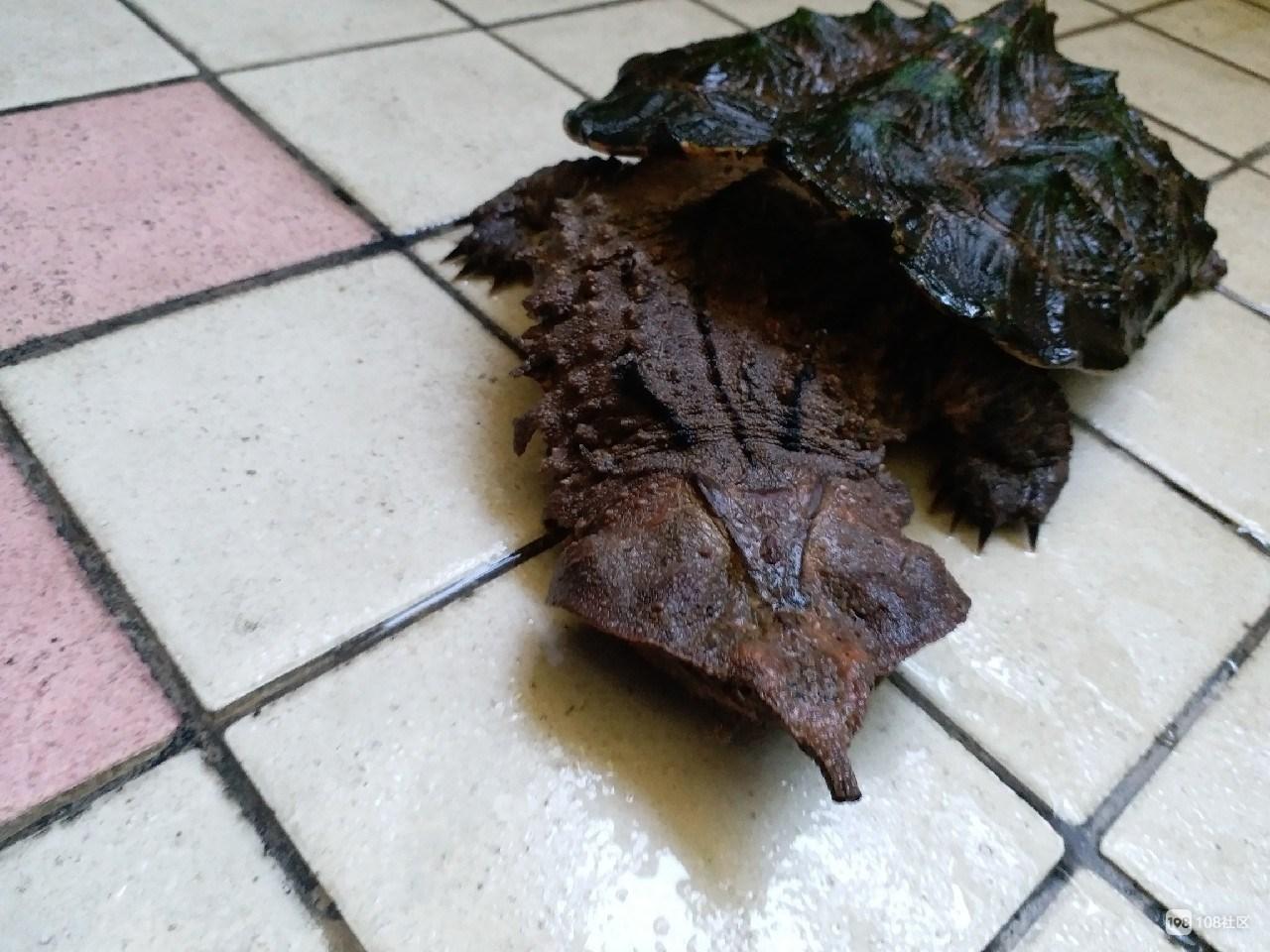 枯叶龟是保护动物吗 枯叶龟是国家保护动物吗