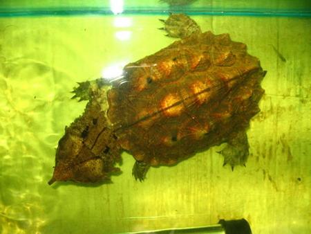 枯叶龟怎么分公母 枯叶龟公母怎么区分