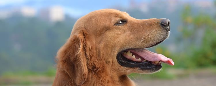 狗狗眼睛充血能自愈吗