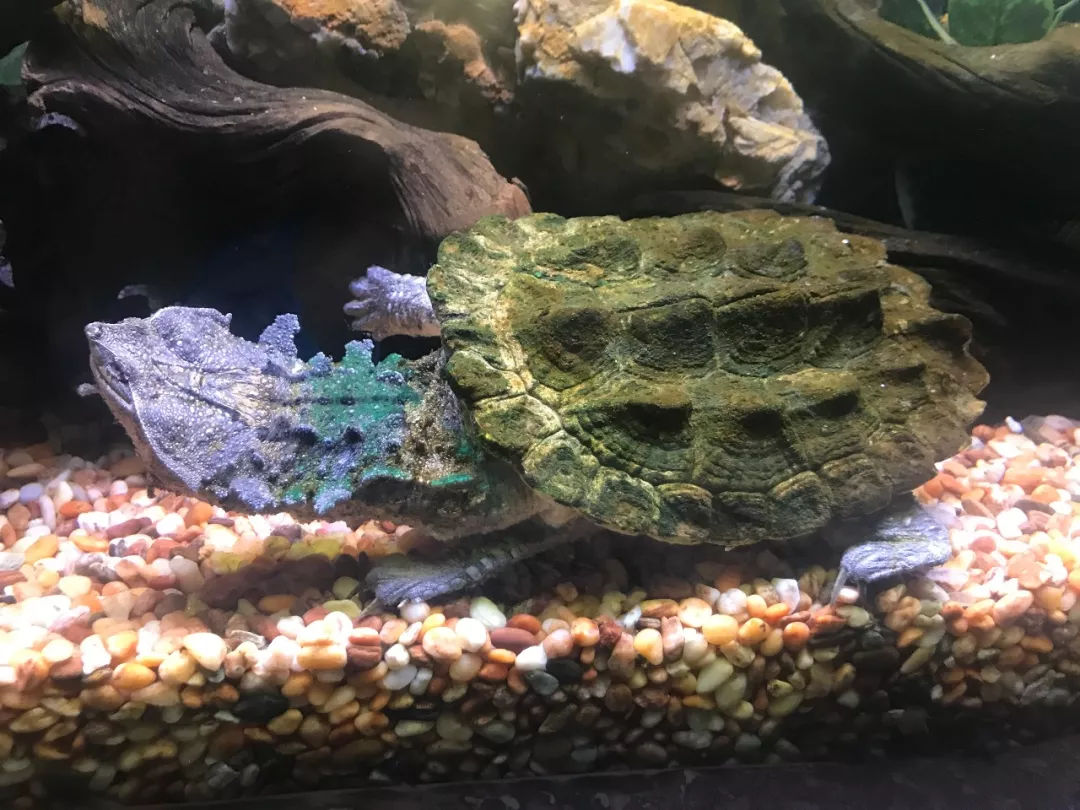 枯叶龟好养吗