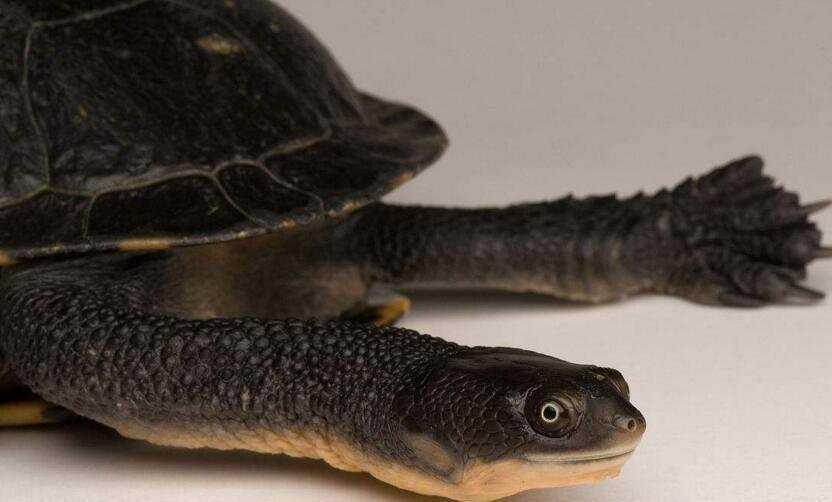 巨颈蛇龟需要阳光吗