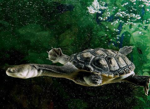 蛇颈龟和巨蛇颈龟的区别