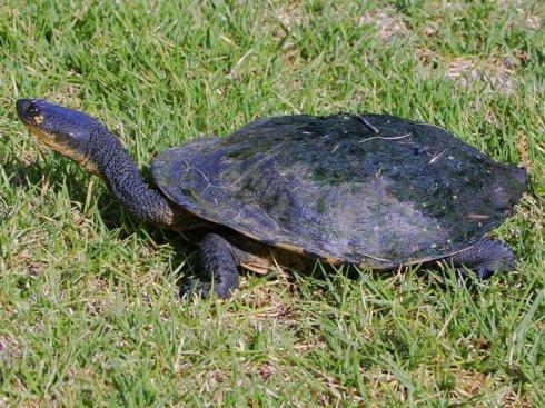 巨蛇颈龟是深水龟吗