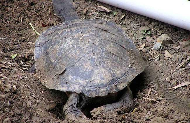 巨蛇颈龟咬人吗