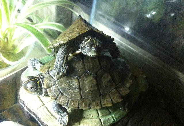 黄斑地图龟价格多少 黄斑地图龟的价格