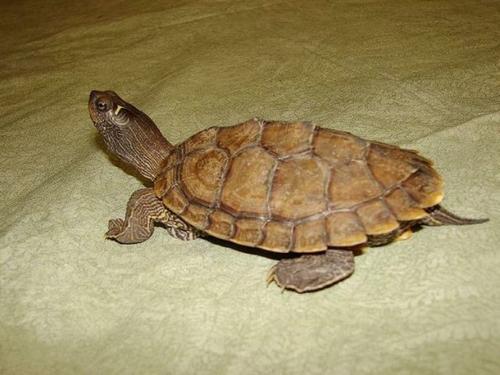 黄斑地图龟哪里有卖