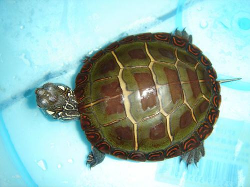 黄斑地图龟吃什么