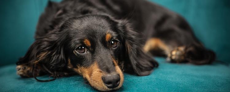 如何确诊狗是否犬窝咳