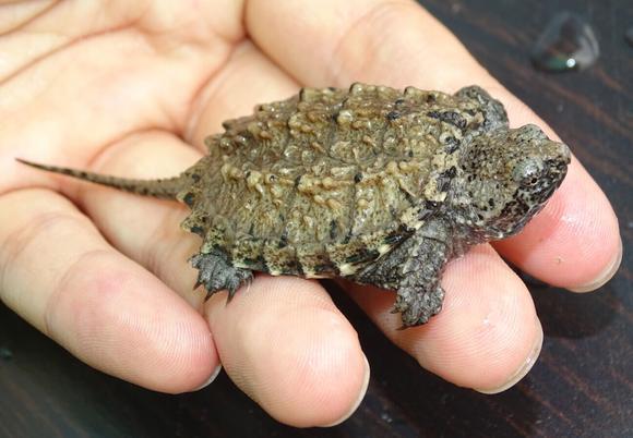 北美拟鳄龟是不是保护动物