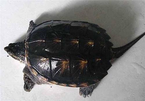 北美拟鳄龟多久成年