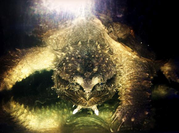 中美拟鳄龟可以冬眠吗 中美拟鳄龟能冬眠吗
