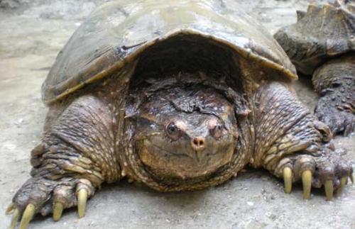 中美拟鳄龟冬眠需要准备什么