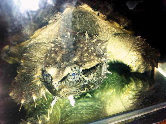 中美拟鳄龟要加温吗