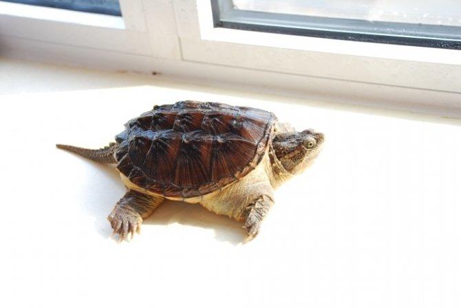 北美拟鳄龟会咬人吗 北美拟鳄龟咬人吗