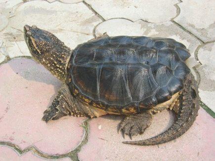 北美拟鳄龟怎么看公母 北美拟鳄龟公母怎么分