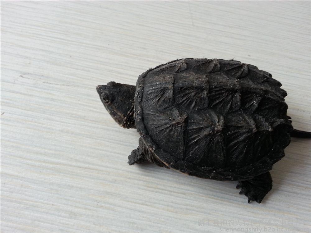 北美拟鳄龟用晒太阳吗 北美拟鳄龟需要晒太阳吗