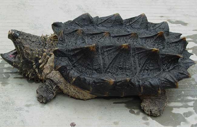 北美拟鳄龟需要晒背吗