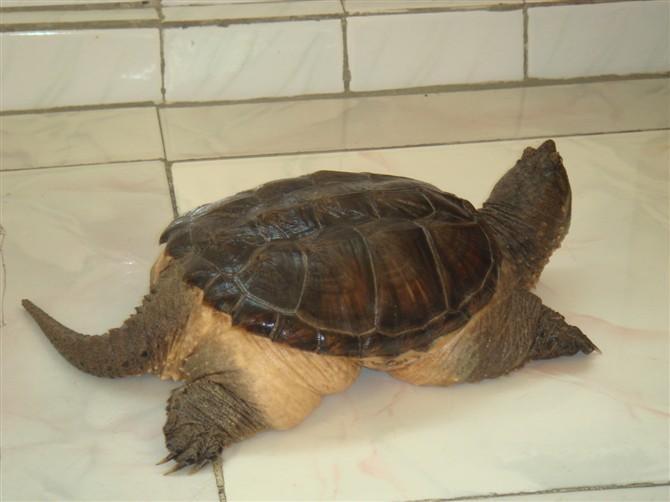 北美拟鳄龟怎么养 成年北美拟鳄龟饲养