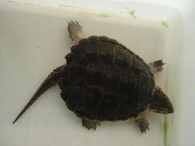 北美拟鳄龟的养殖方法