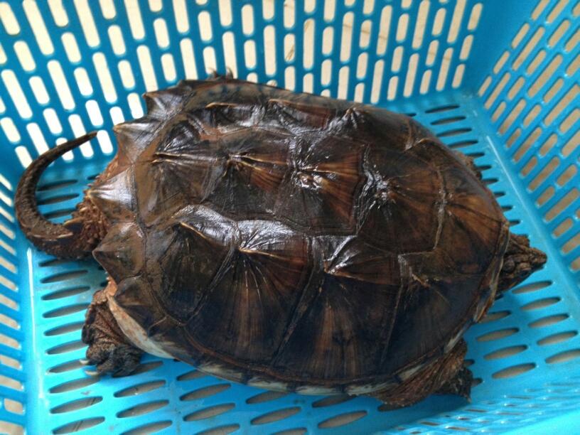 北美拟鳄龟能不能干养 北美拟鳄龟干养怎么养
