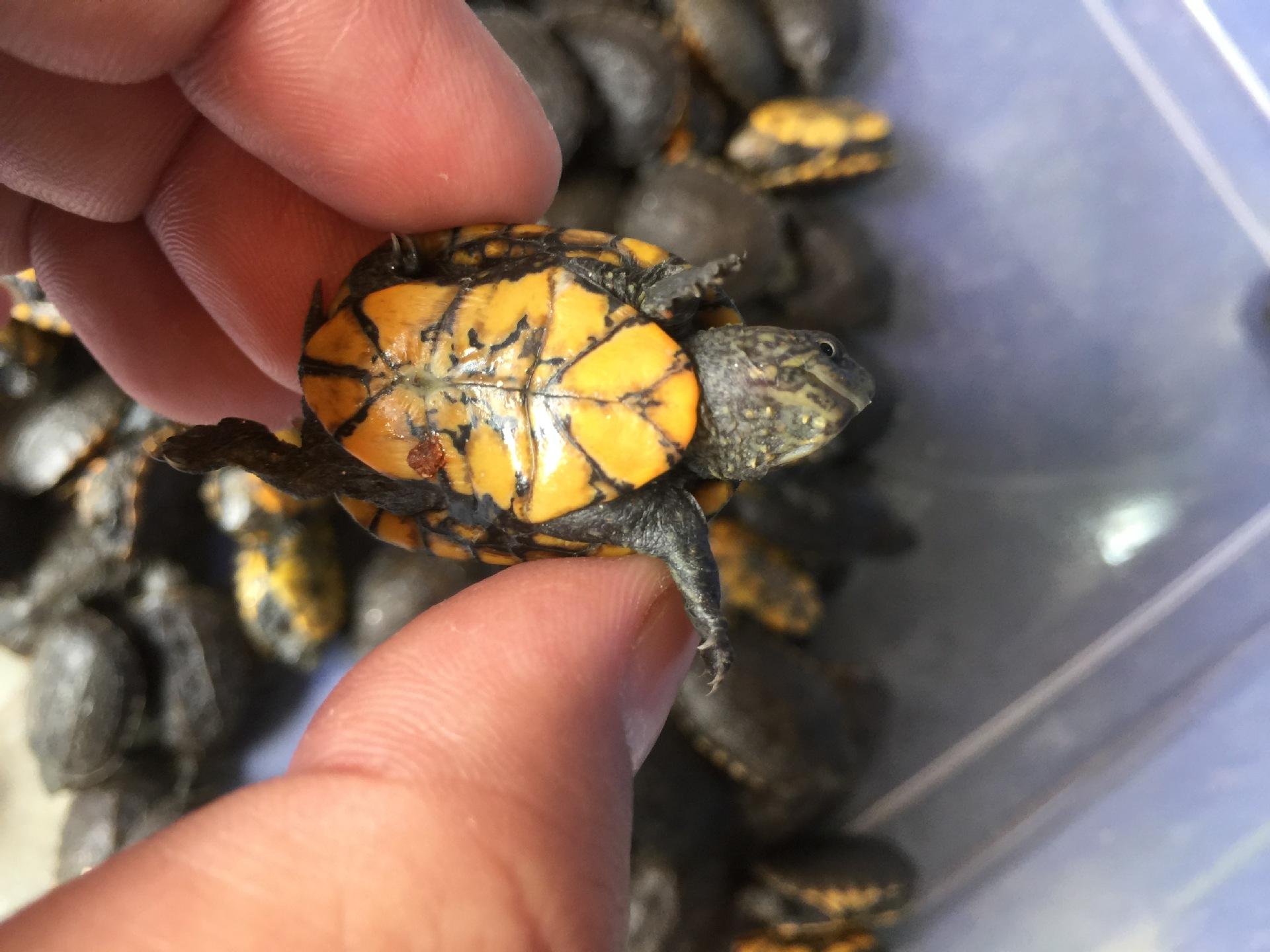 红面泥龟能深水养吗