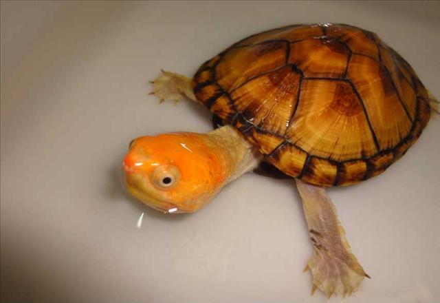 怎么挑选红面泥龟