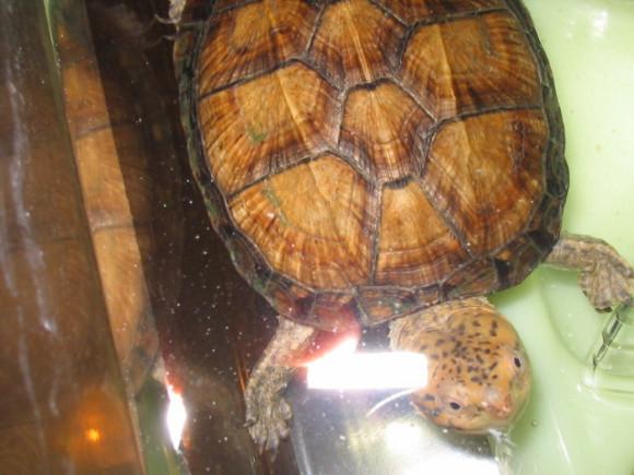 红面泥龟凶吗 红面泥龟性格