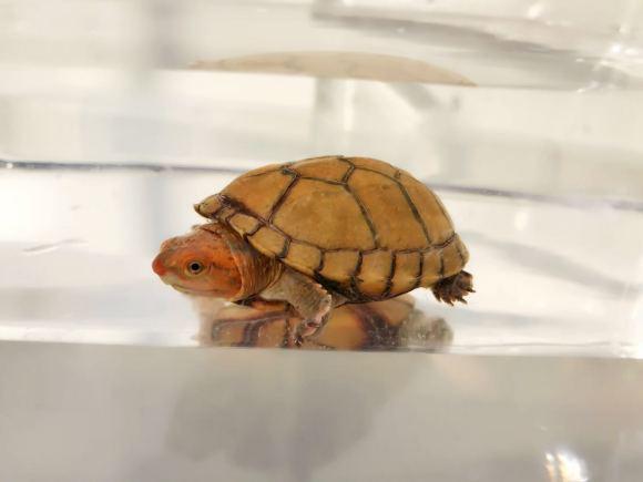 红面泥龟最容易得什么病