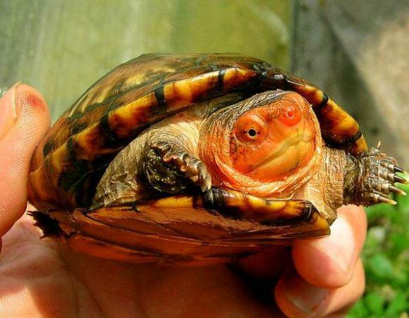 红面泥龟能闭壳吗