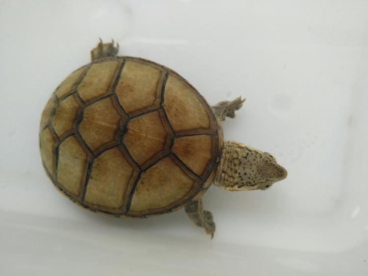 红面泥龟会不会冬眠 红面泥龟冬眠吗