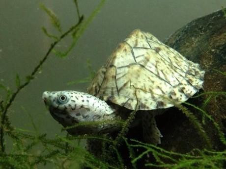 剃刀龟可以浅水养吗