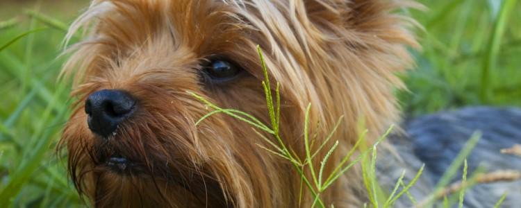 狗体内炎症能配种吗