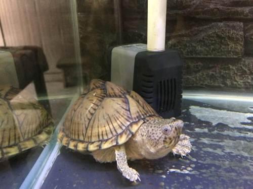 剃刀龟为什么咬人