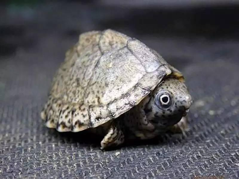 刀背麝香龟吃生虾吗