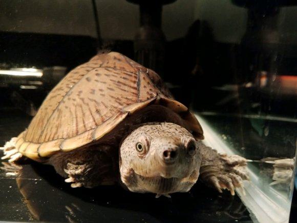 刀背麝香龟能不能吃葡萄