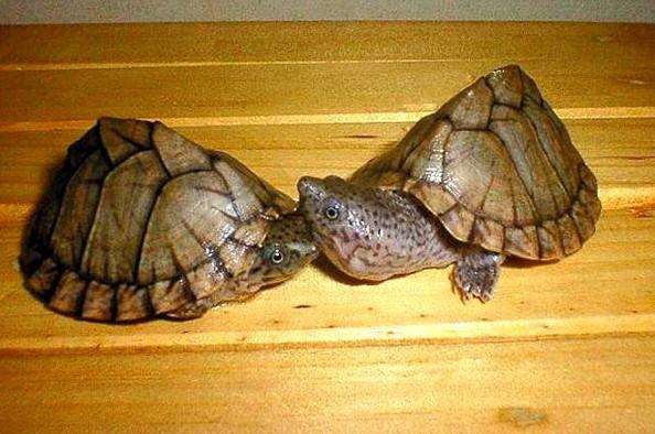 刀背射麝香龟如何繁殖