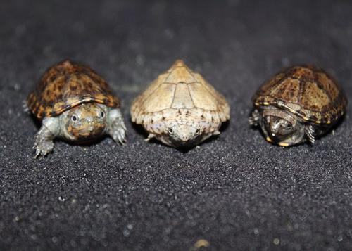 刀背麝香龟能养多大 刀背麝香龟能长多大