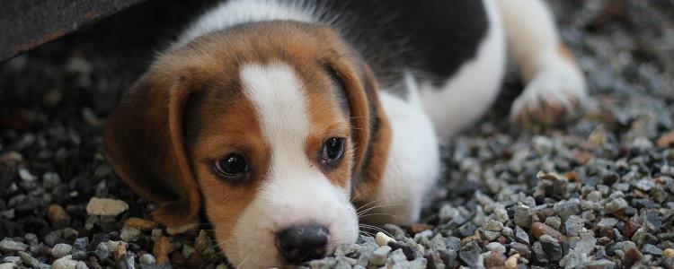 母狗发情症状有哪些