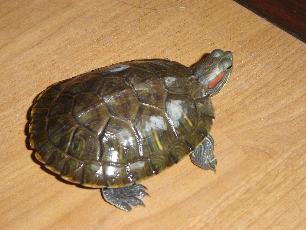 黄肚红耳龟能长多大