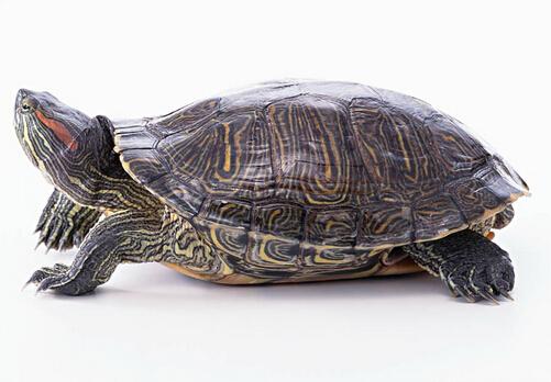 黄肚红耳龟怎么分别公母