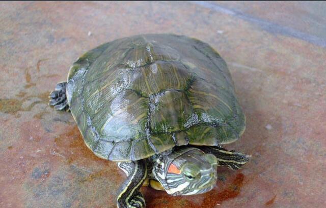 黄肚红耳龟是水龟吗