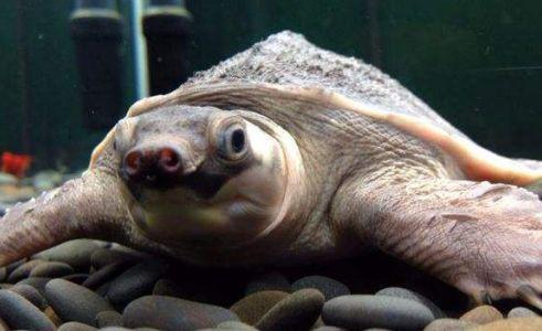 猪鼻龟咬人吗
