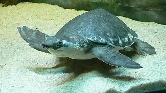 猪鼻龟是几级保护动物 猪鼻龟几级保护