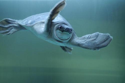 猪鼻龟繁殖 猪鼻龟怎么繁殖