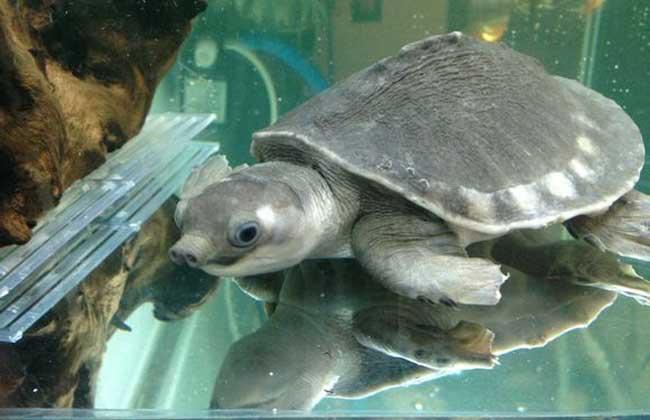 猪鼻龟需要晒台吗