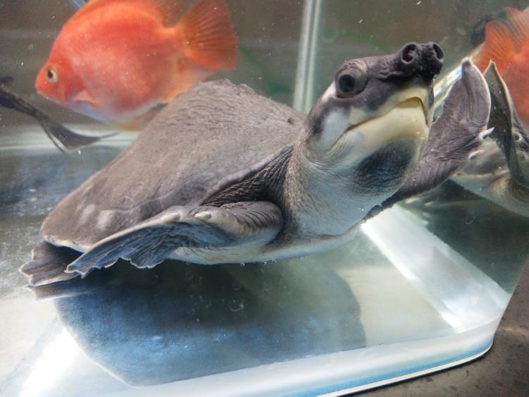 猪鼻龟饲养 猪鼻龟的饲养