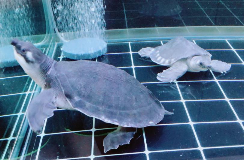 猪鼻龟寿命多长 猪鼻龟的寿命是多少年